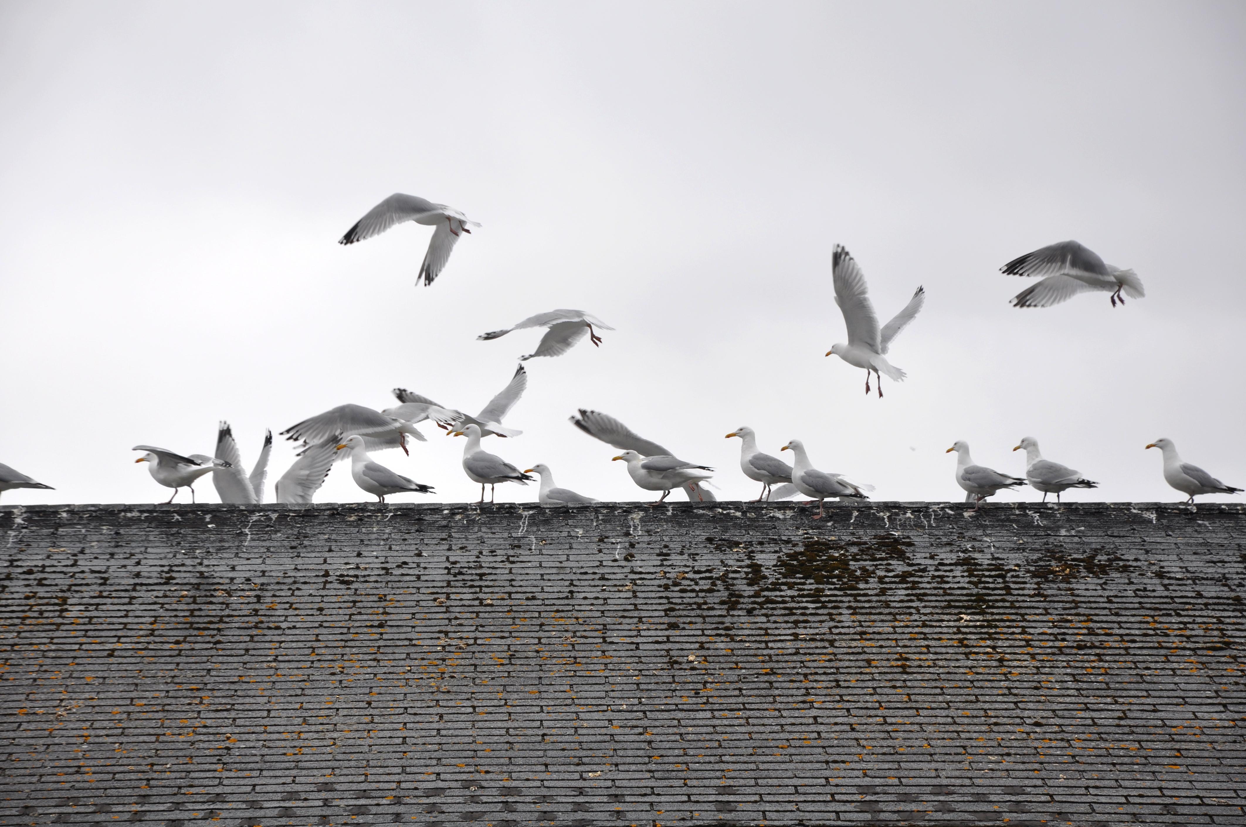 Cape Broyle Seagulls