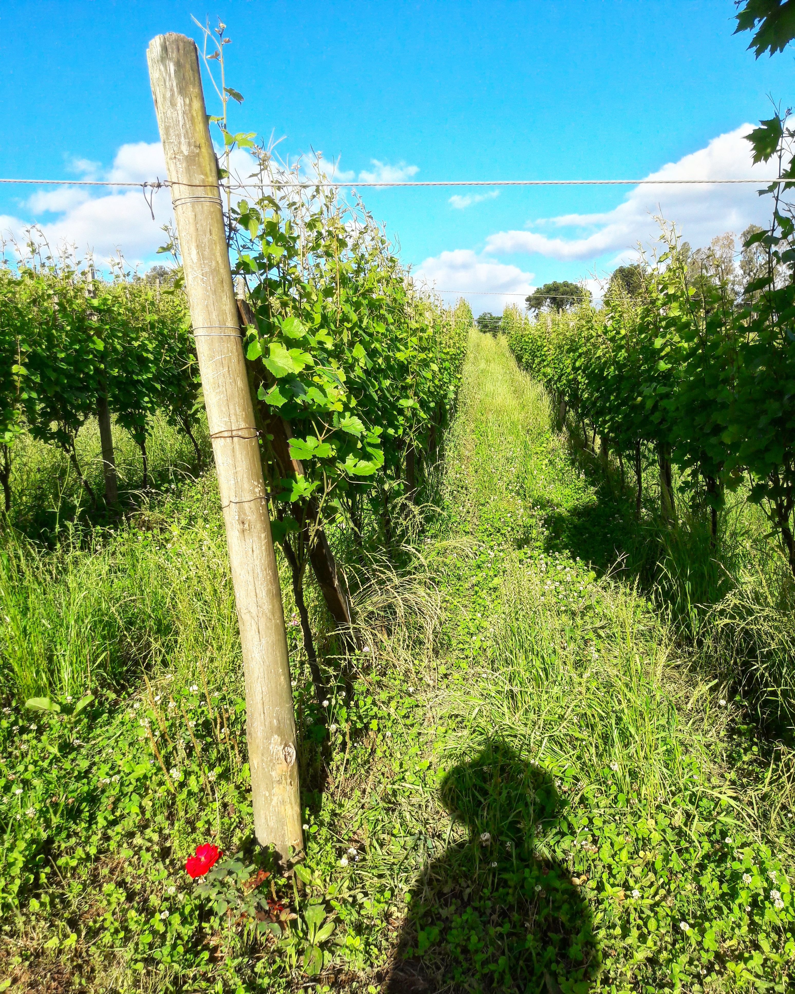 Vinhedo Pinot Noir