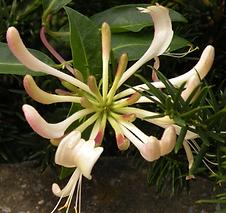 """Infusions solaires florales """"comme les """"fleurs de Bach"""" Atelier: Elixirs foraux"""