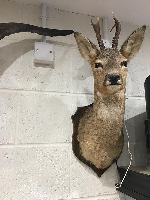 Roe Buck Shoulder Mount