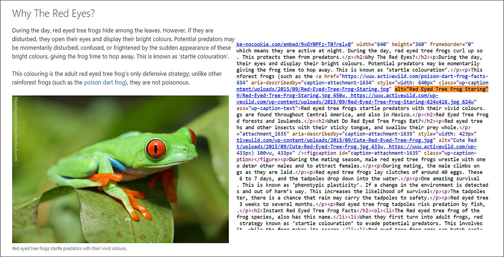 Red Eyed Frog Staring Image with Alt description by its side