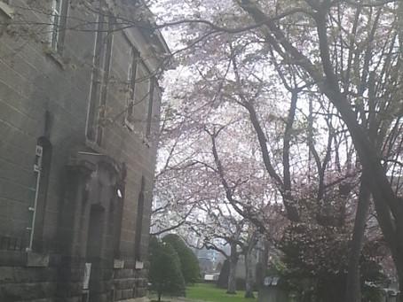 桜,咲いてます
