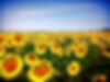 tournesols provence