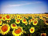 sunflower provence