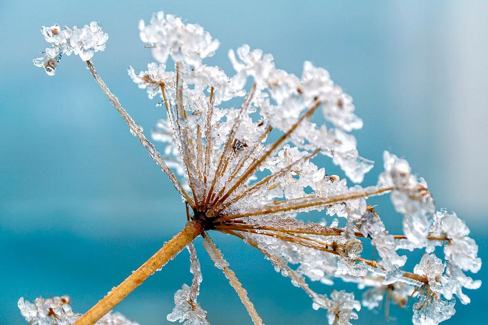 макро съемка цветка с застывшими ледяными каплями
