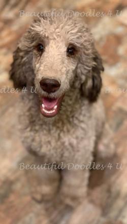 Moses- Moyen Poodle