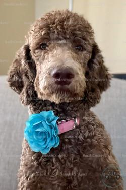 Roxy- Standard Poodle