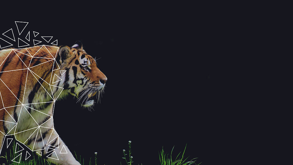 tiger-2320819-01-01.jpg