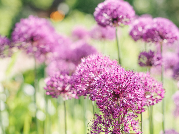 alliums at The Copse