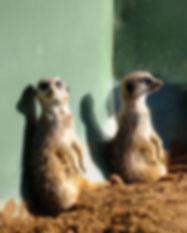 3meerkats-web.jpg