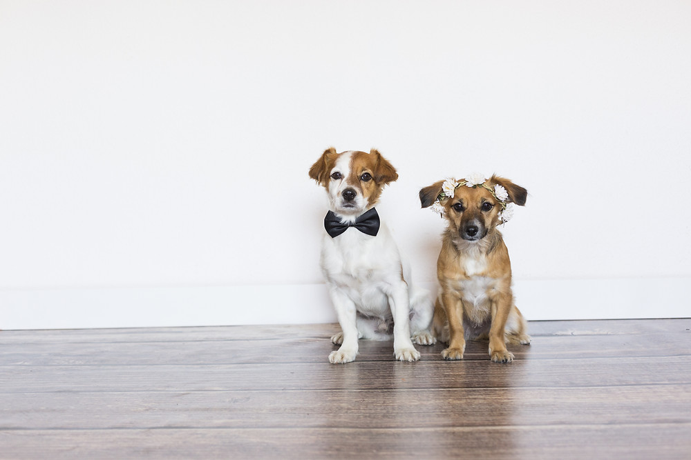 a pair of dogs dressed for a wedding