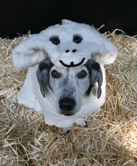 """Dog Dressed as a """"Woof in Sheep's Clothin..."""