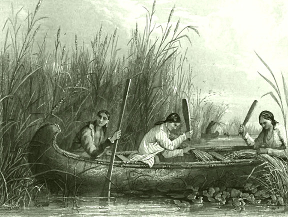 Wild_rice_harvesting_19th_century.jpg