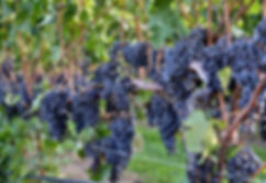 GrapesVine1.jpg