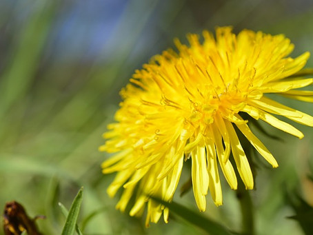 Herbal Spotlight: Dandelion (Taraxacum officinale), stubborn weed or powerhouse plant?