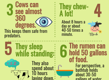 10 Amazing Facts About Cattle