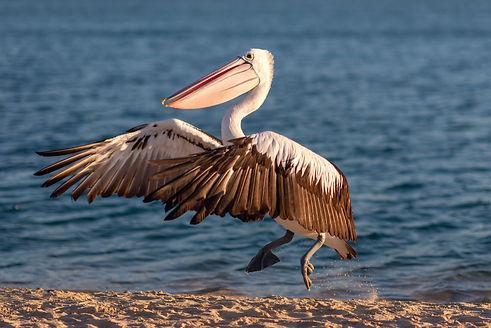 pelican-CWRAQ4X.jpg