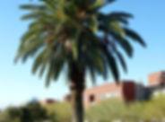 Canary Island Palm.jpg