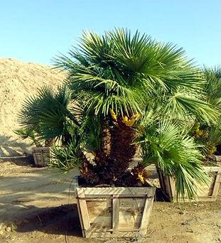 mediterranean palm verdant.jpg