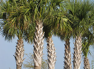 FLORIDA SABAL
