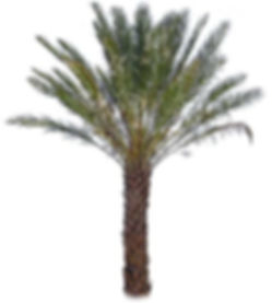 Deglet_Noor_Date_Palm_Verdant