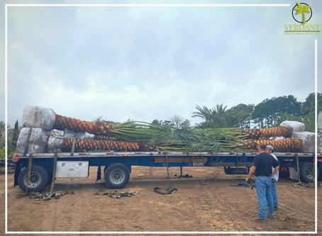 First truck load of Medjools