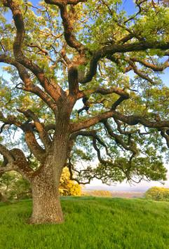 Sunlit Oak