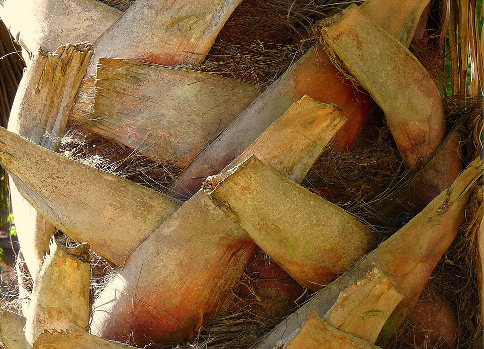 HOW TO CARE FOR YOUR SYLVESTER PALM