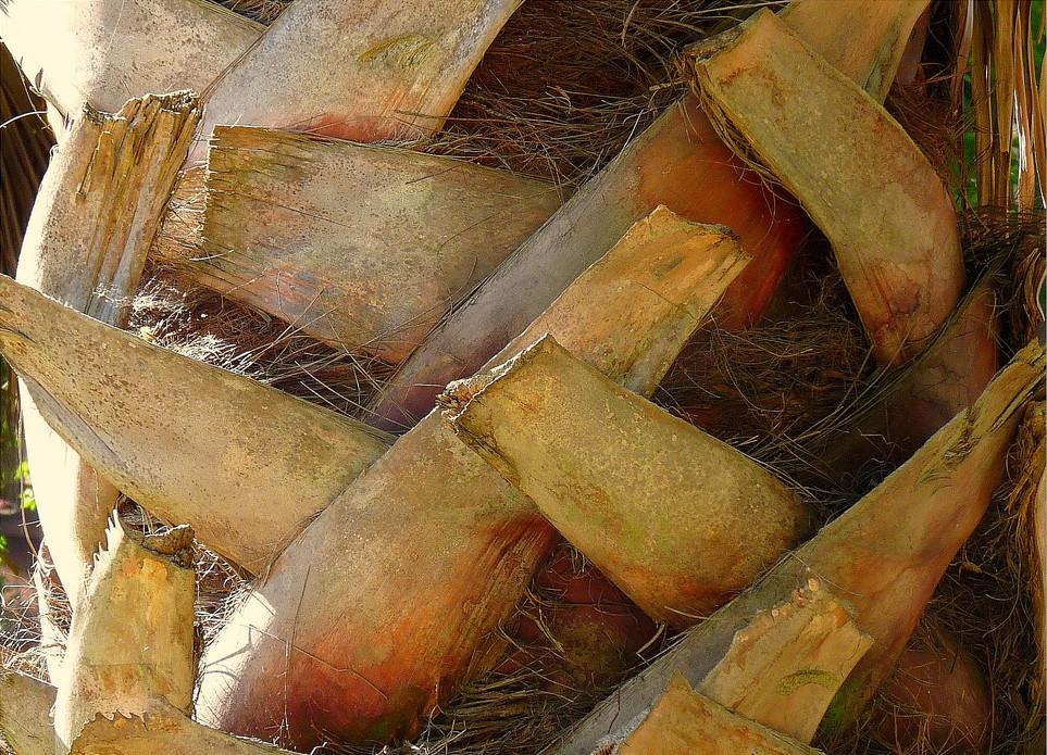 Phoenix Sylvestris Palm