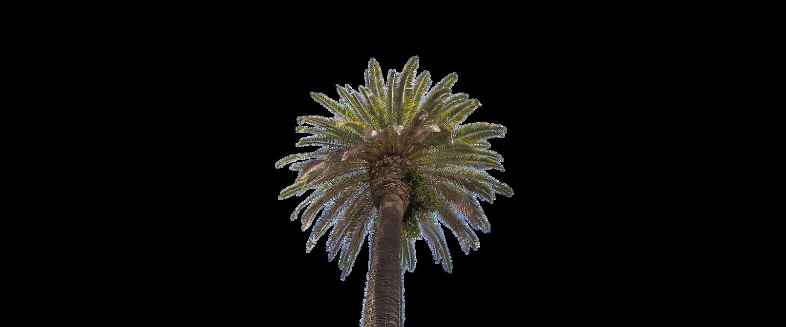 california fan palm.png