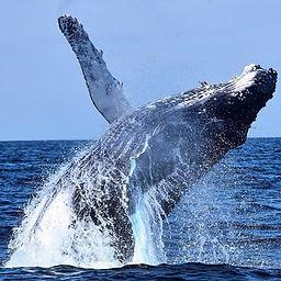 whale breaching.jpg