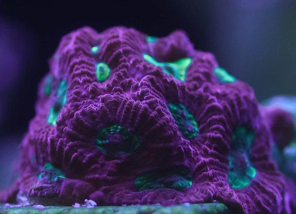 Tyree Purple War Coral