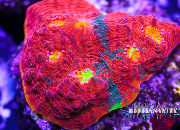 Sexy Corals Dynamite Chalice!