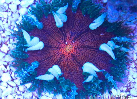 Ultra Rock Flower anemone