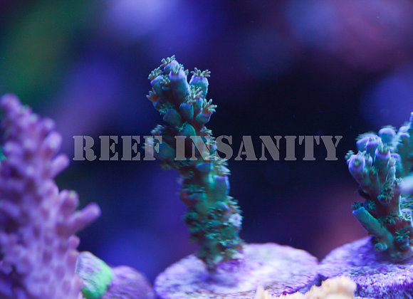 Reef Insanity's Blue Tenuis
