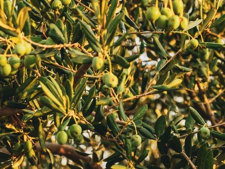 Extrato de Oliveira -  Oleuropeína e Hidroxitirosol