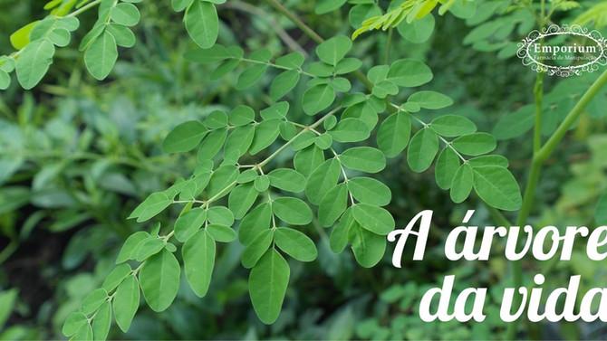 MORINGA OLEIFERA - A árvore da vida