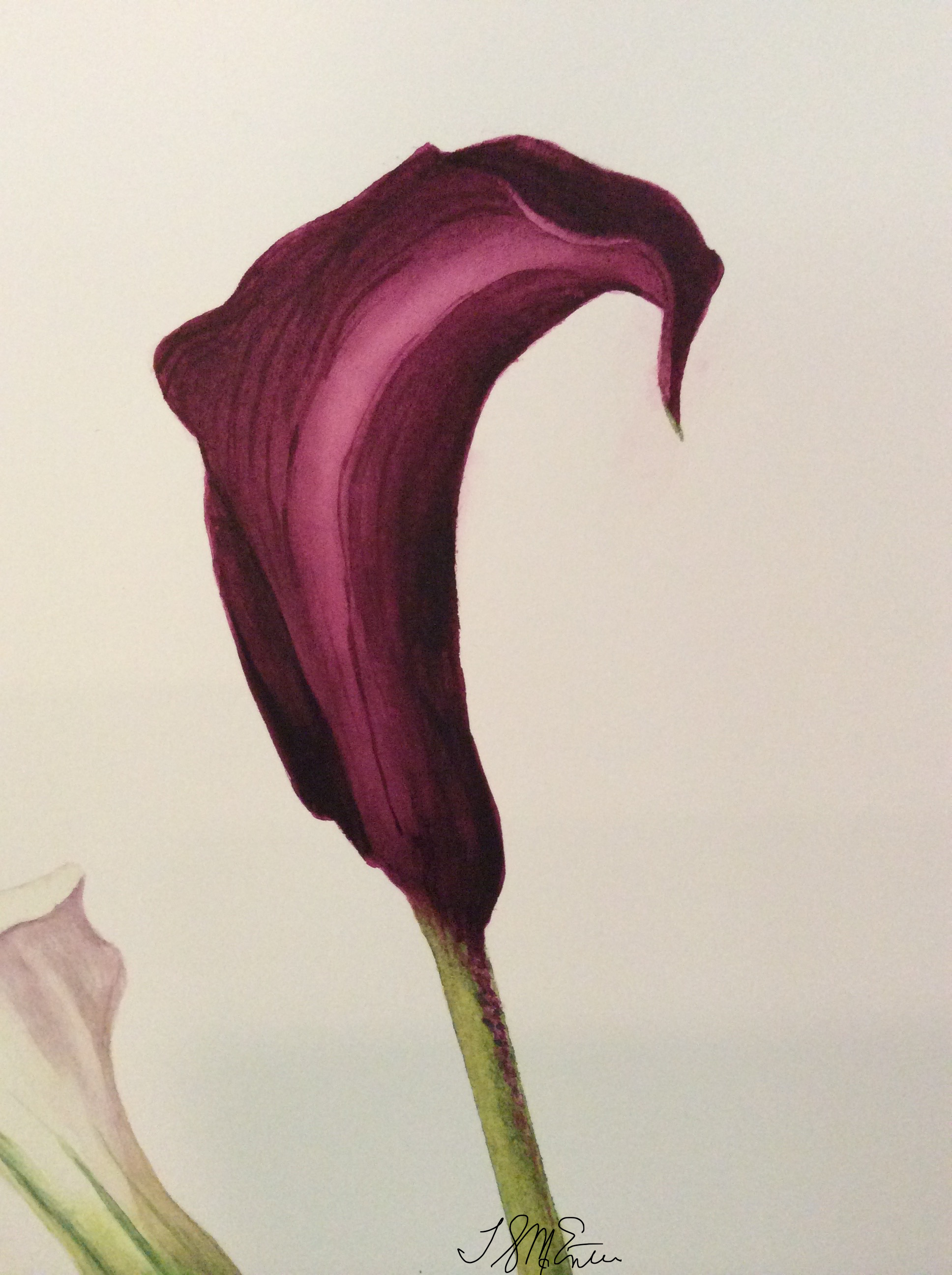 Calla lily close up