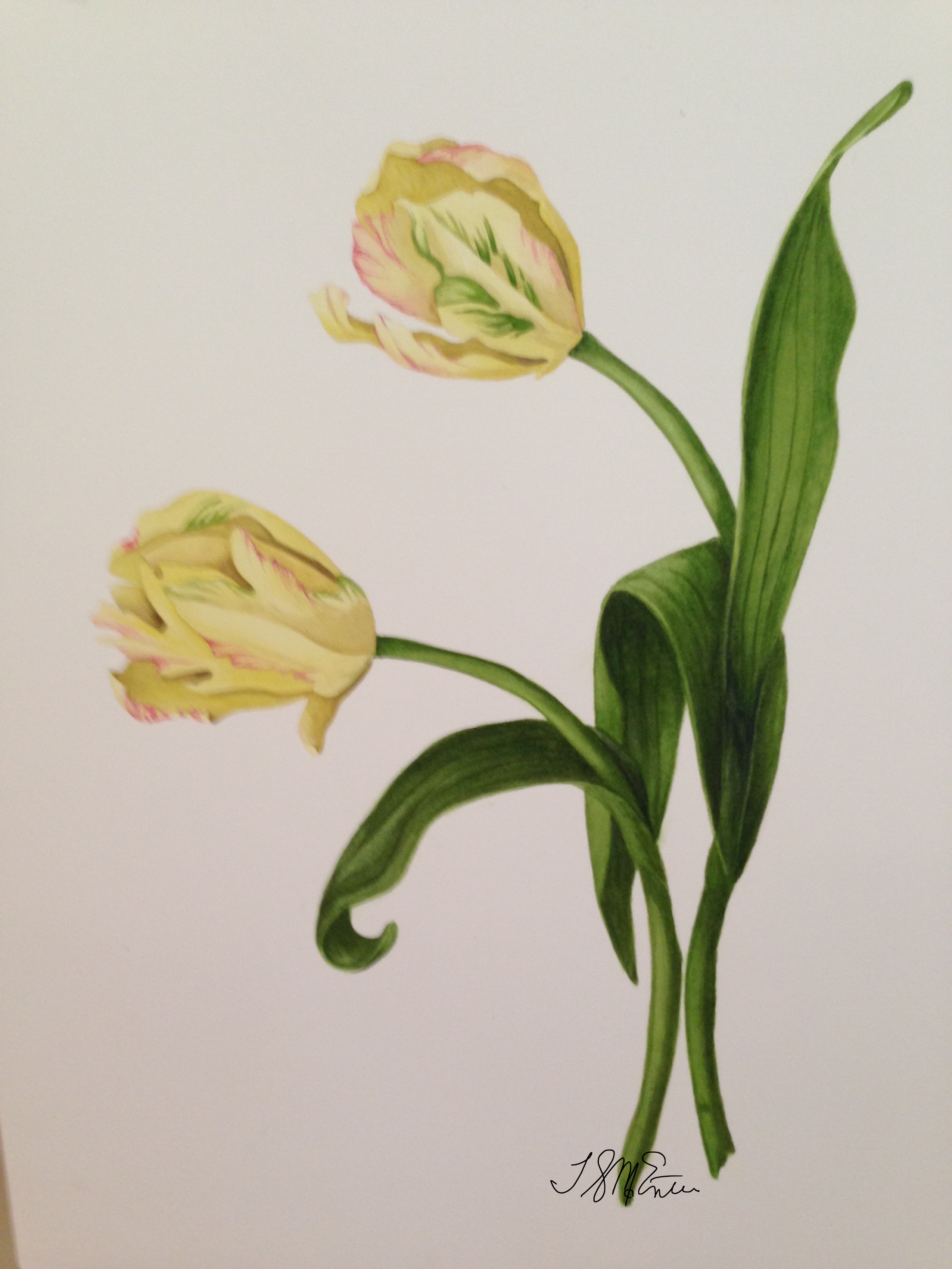 Yellow tulips528