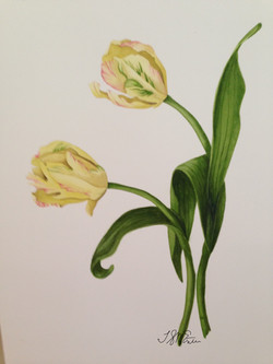 Yellow tulips528