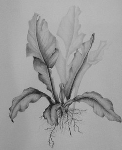 Bird's nest fern