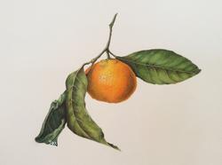 Satsuma mandarin