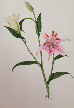 Star gazer lilies