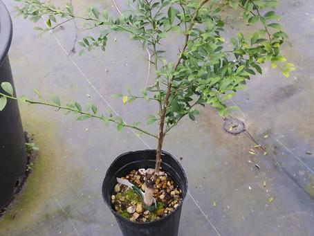オーストラリアンブラッド2年生苗