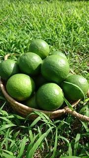 グリーンマイヤーレモン