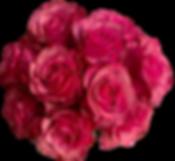 Rosa1.png