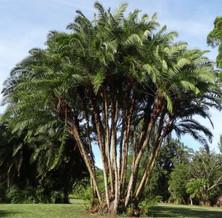 reclinata palm.jpg