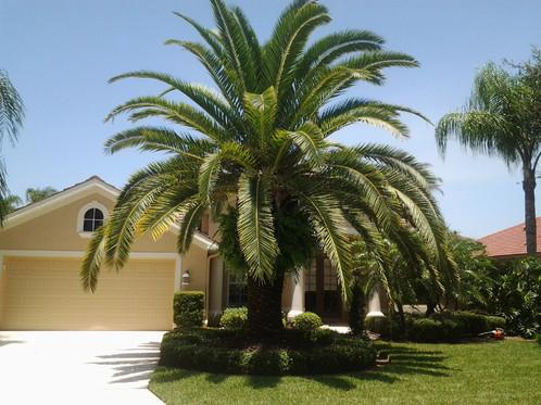 canary palm.jpg