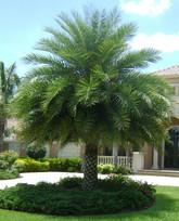 sylvestris palm.jpg