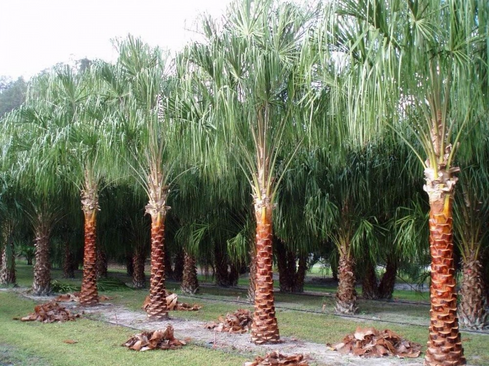 ribbon palm.png